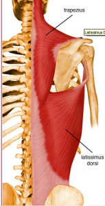 latissimus dorsi upper lower trapezius4 153x300
